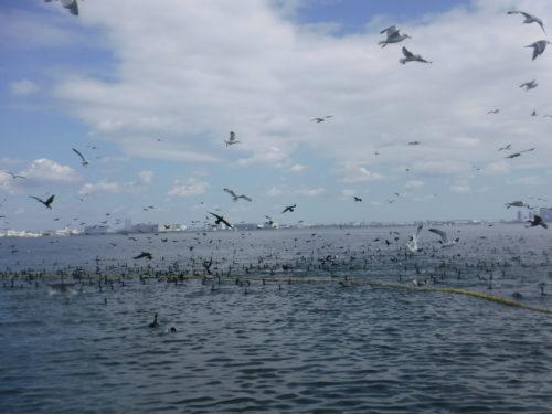 2020.3.18 コノシロ漁に群がる鳥